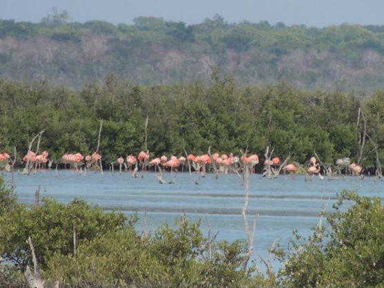 Een beetje een onduidelijke foto, maar ik moest ver inzoomen om de flamingo's die we zagen op onze route naar Coyo Coco vast te leggen.